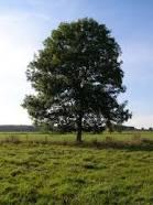Trees trivia